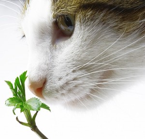 Catnip | Cat Care | Cat Health