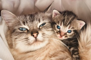 Pregnant Cat Care | Healthy Pregnant Cat