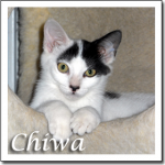 Cat Images Chiwa