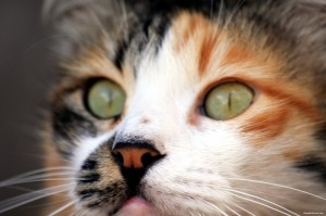 Pet Insurance For Your Cat