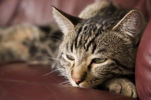 Cat Diabetes Symptoms