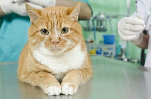 Cat Hair Loss Causes and Treatment