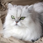 persian cat