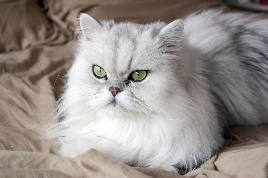 About Persian Cats Cat Breeds Catloversdiary Com