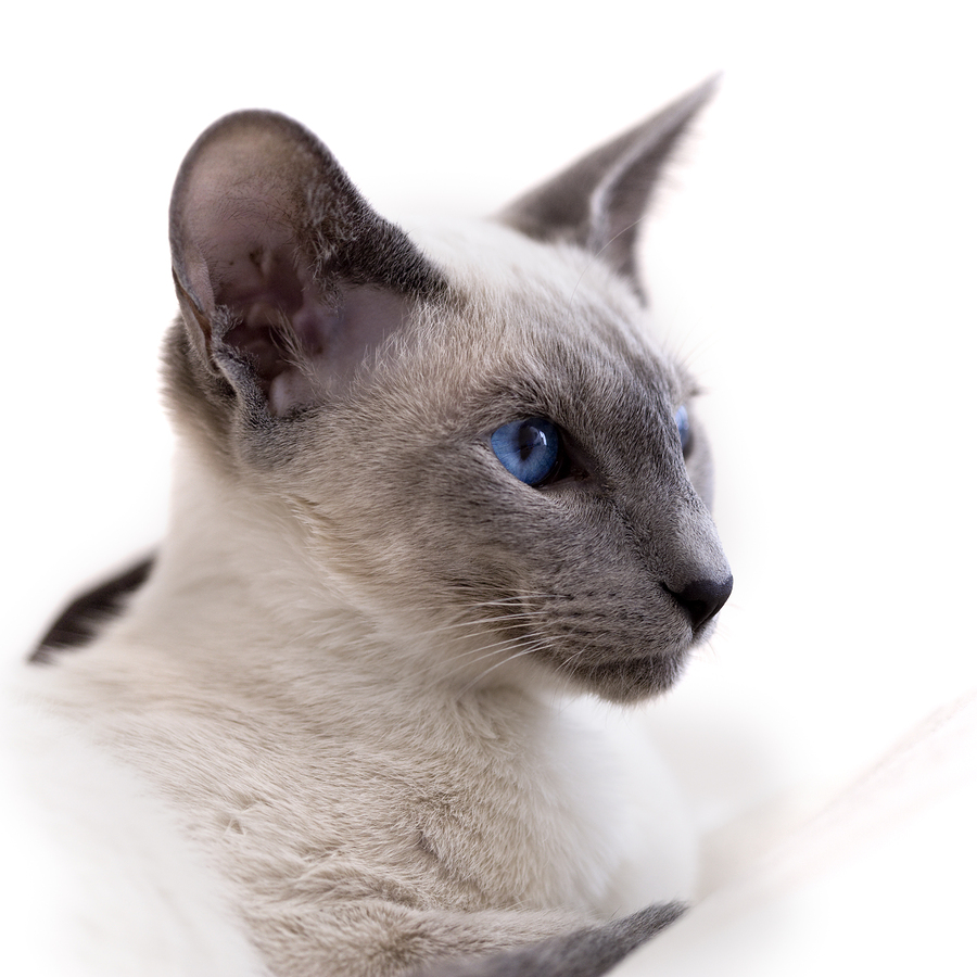 All About Siamese Cats Cat Breeds