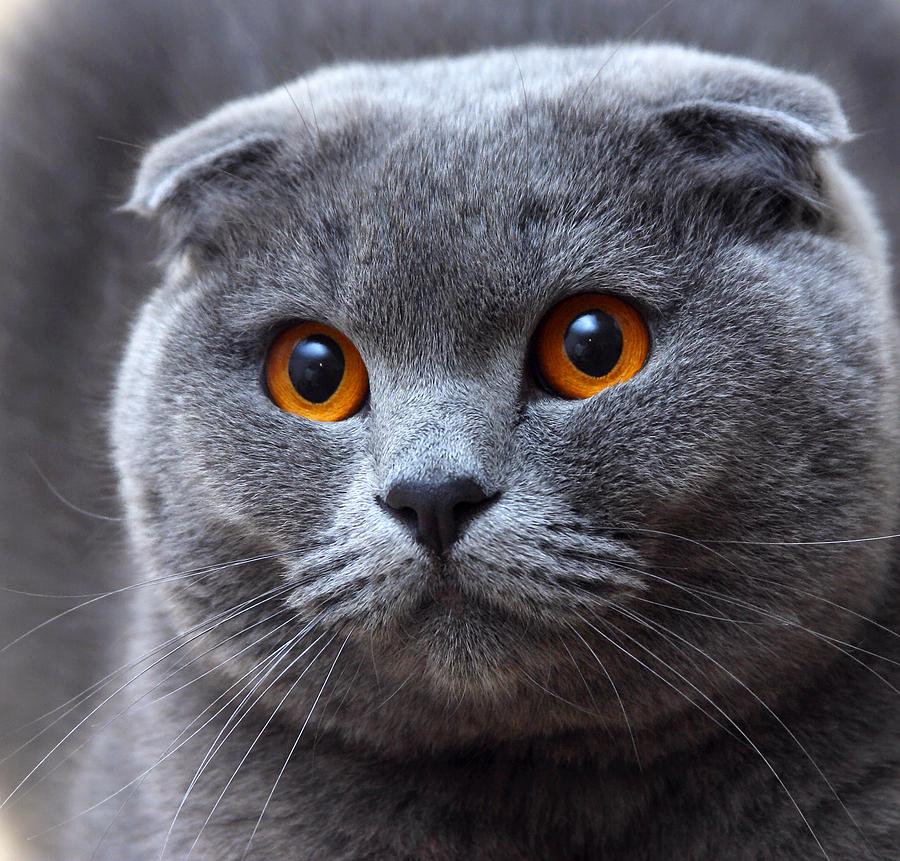 the scottish fold cat cat breeds. Black Bedroom Furniture Sets. Home Design Ideas
